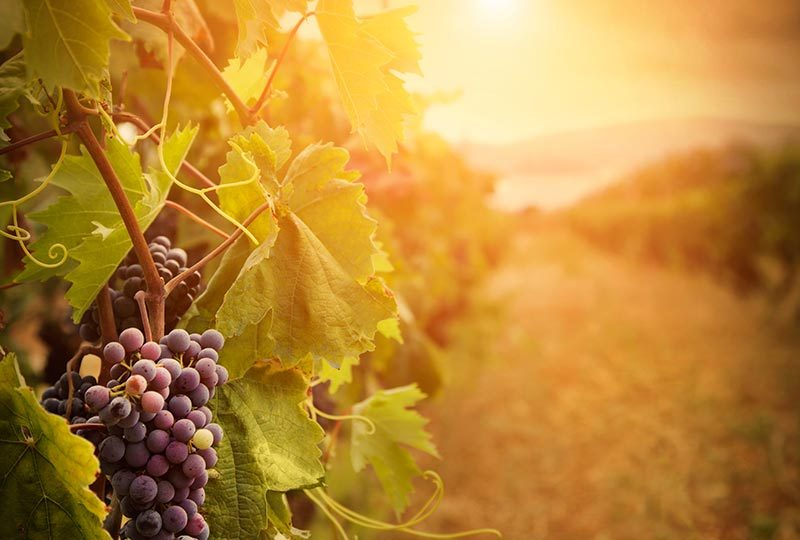 Warm weather and wine: what the drought means for California grapes